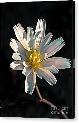 Desert Chicory Canvas Print