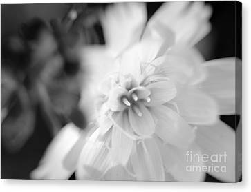 Desert-chicory Canvas Print
