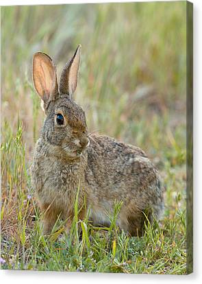 Desert Cottontail Canvas Print by Doug Herr