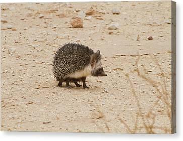 Desert Hedgehog (paraechinus Aethiopicus) Canvas Print by Photostock-israel
