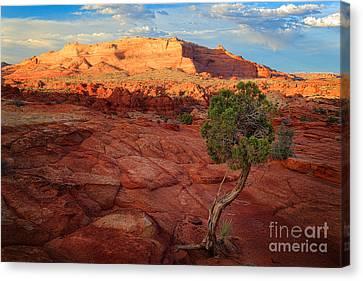 Desert Juniper Canvas Print by Inge Johnsson
