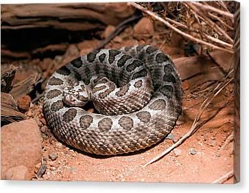 Desert Massasauga Rattlesnake Canvas Print by Susan Degginger