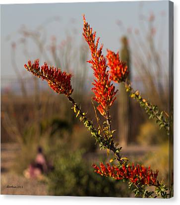 Desert Ocotillo Canvas Print by Dick Botkin