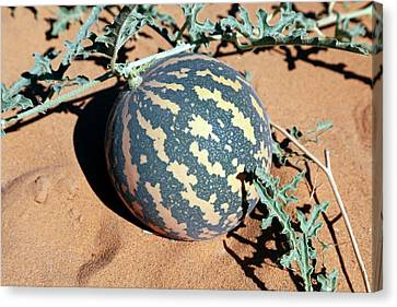 Desert Pumpkin Canvas Print