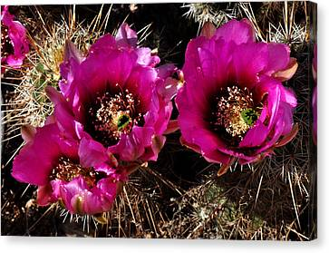 Desert Wildflower Canvas Print by Diane Lent
