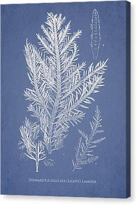 Desmarestia Ligulata Canvas Print by Aged Pixel