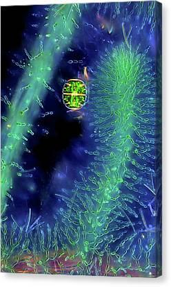 Desmid On Red Algae Canvas Print by Marek Mis
