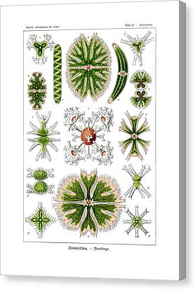 Desmidiea Canvas Print by Ernst Haeckel