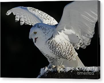Shelley Myke Canvas Print - Destiny's Journey - Snowy Owl by Inspired Nature Photography Fine Art Photography