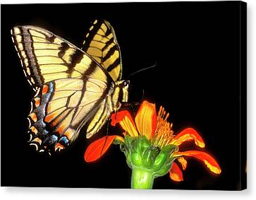 Tiger Swallowtail Canvas Print - Detail Of A Captive Western Tiger by Jaynes Gallery