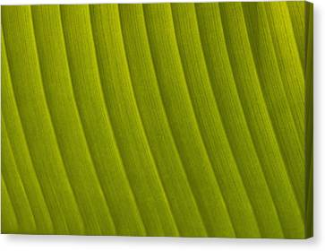 Simple Beauty In Colors Canvas Print - Detail Of Leaf Marrakech, Morocco by Ian Cumming