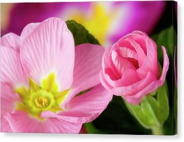 Detail Of Primrose Blossoms Canvas Print