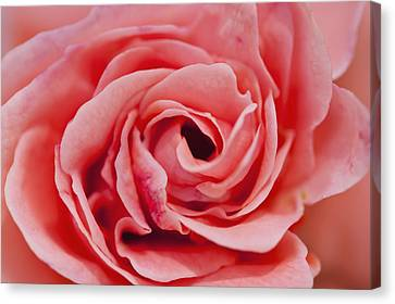 Simple Beauty In Colors Canvas Print - Detail Of Rose Flower Marrakech, Morocco by Ian Cumming