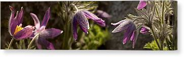 Details Of Purple Furry Flowers Canvas Print by Panoramic Images