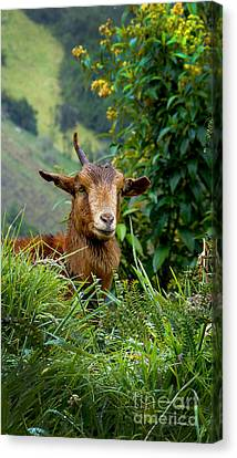 Devil Goat On El Altar Canvas Print