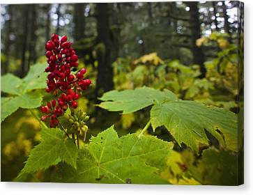 Devils Club Growing Under The Canopy Of Canvas Print