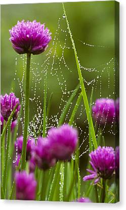 Dew Covered Spider Web On Chive Flowers Canvas Print