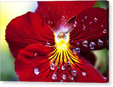 Dew Drops Canvas Print by Crystal Hoeveler