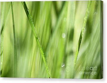 Dew Drops In Long Sunlit Grass Canvas Print by Natalie Kinnear