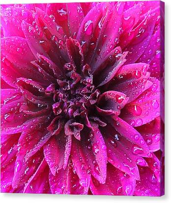 Dew Drops Canvas Print by Peggy Stokes