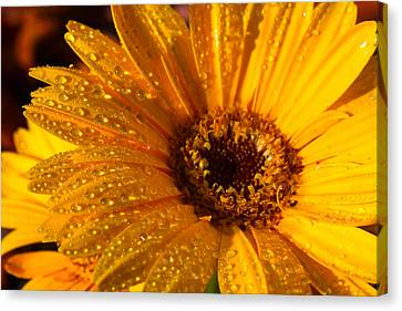 Canvas Print featuring the photograph Dew On A Daisy by Richard Stephen