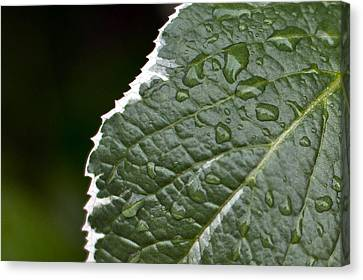 Dew On Leaf Canvas Print by Crystal Hoeveler