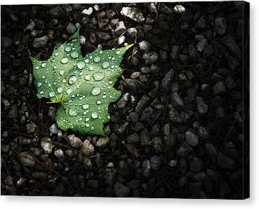 Pine Needles Canvas Print - Dew On Leaf by Scott Norris