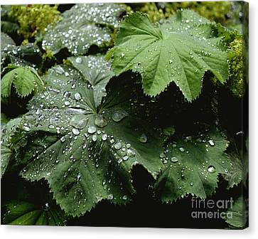 Canvas Print featuring the photograph Dew On Leaves 2 by Tom Brickhouse