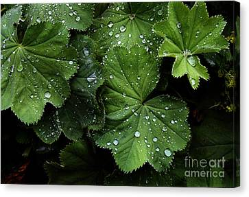 Canvas Print featuring the photograph Dew On Leaves by Tom Brickhouse
