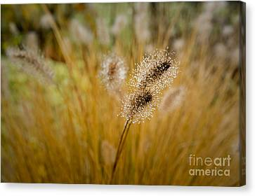 Dew On Ornamental Grass No. 4 Canvas Print
