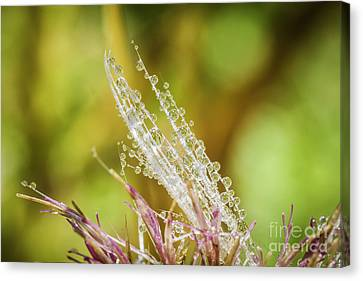 Dew On The Thistle Canvas Print by Mitch Shindelbower