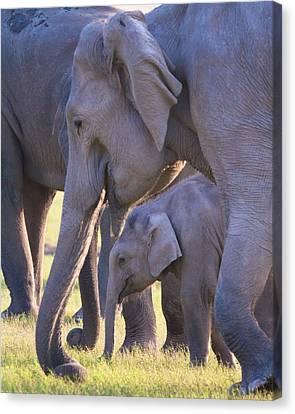 Dhikala Elephants Canvas Print by David Beebe