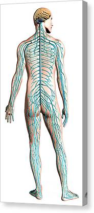 Diagram Of Human Nervous System Canvas Print by Leonello Calvetti