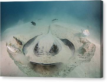Diamond Stingray Digging In Sand Canvas Print by Pete Oxford