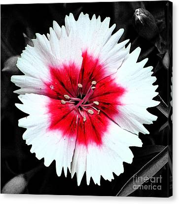 Dianthus Red And White Flower Decor Macro Square Format Fresco Color Splash Black And White Canvas Print