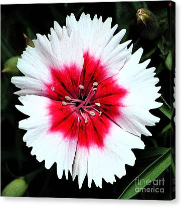 Dianthus Red And White Flower Decor Macro Square Format Fresco Digital Art Canvas Print by Shawn O'Brien