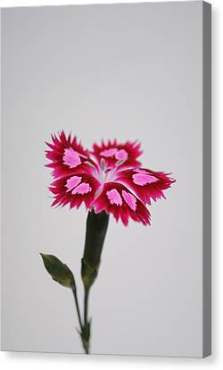 Dianthus Still Life Canvas Print