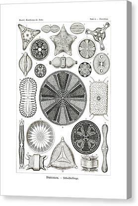 Diatomea Canvas Print by Splendid Art Prints