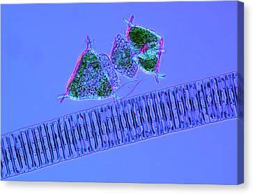 Diatoms And Desmids Canvas Print by Marek Mis