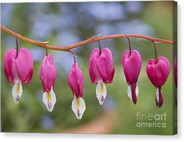 Dicentra Spectabilis Bleeding Heart Flowers Canvas Print by Tim Gainey