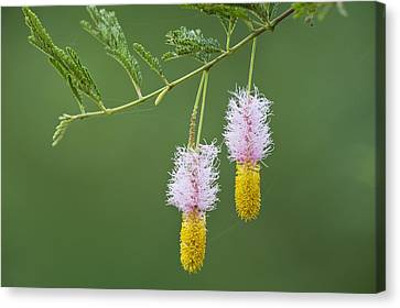 Dichrostachys Cinerea Flowers Canvas Print by Science Photo Library