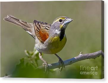 Dickcissel Canvas Print by Gary Holmes
