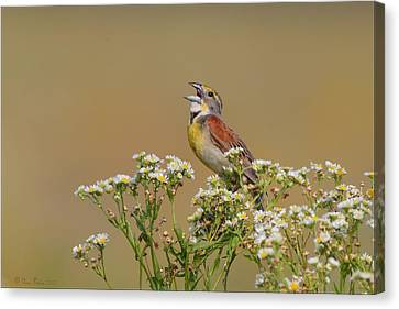 Dickcissel On Wild Daisies Canvas Print by Daniel Behm