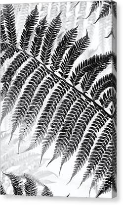 Dicksonia Antarctica Tree Fern Monochrome Canvas Print
