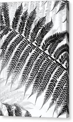 Dicksonia Antarctica Tree Fern Monochrome Canvas Print by Tim Gainey