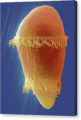 Didinium After Ingesting Paramecium Canvas Print by Ami Images