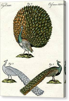 Different Kinds Of Peacocks Canvas Print by German School