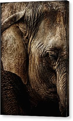 Dignity Of Age In Asian Elephant Study Canvas Print by Lincoln Rogers