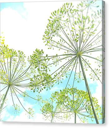 Dill Garden Canvas Print by Tracy Male