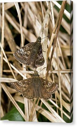 Dingy Skipper Butterflies Canvas Print by Bob Gibbons